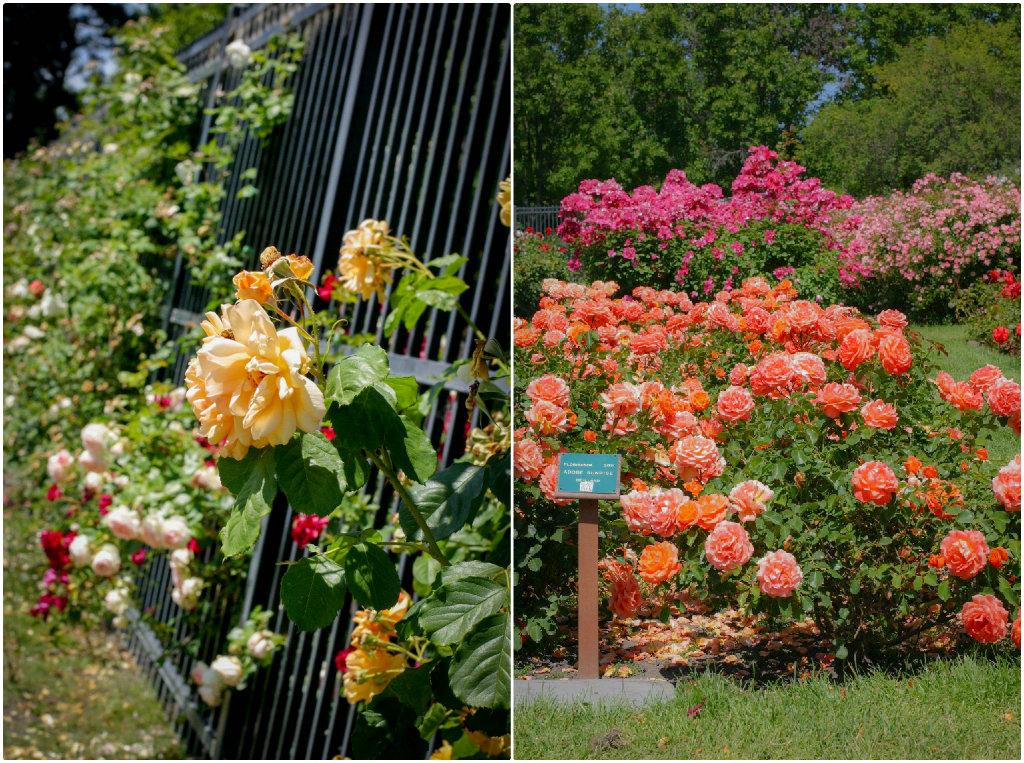 municipal-rose-garden